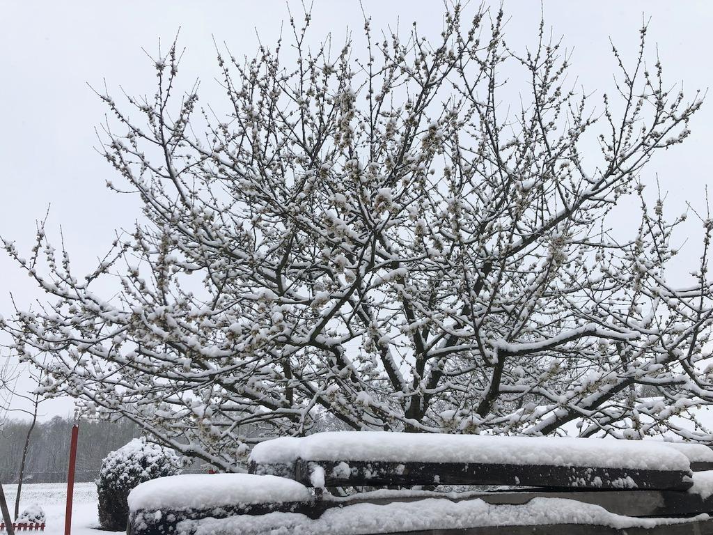 2020 03 24 cseresznyefa