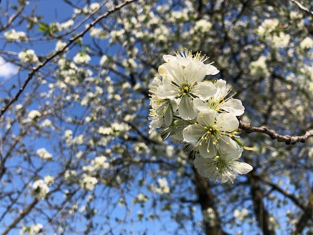teljes virágzásban